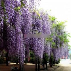 20 db lila kínai Wisteria Vine fa virág mag